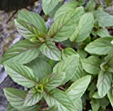 Chocolate Mint Plant - 2 Plants -100% Organic NON-GMO