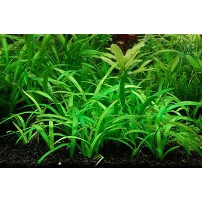 10+ Live Aquarium Plants Dwarf Sagittaria Subulata Loose Aquatic Aquarium Plant Live PNF22 : Garden & Outdoor