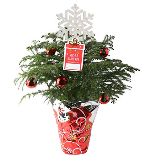 Costa Farms Live Christmas Tree, 18 to 20-Inches Tall, Decorated with Christmas Gift Wrap, Ornaments and Tree-Topper, Fresh From Our Farm (Rosemary Plant Christmas)