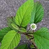 100 Lippia Dulcis Seeds Sweet Herb of The Aztec Plant Organic Bio Phyla Mayan