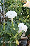 Datura Metel, Triple White Devil's Trumpet, Angel Trumpet, Unusual, Beautiful and Fragrant Bush. (24+ Seeds)