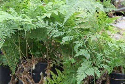 2-Rabbit Foot Ferns-FREE SHIPPING-Davallia-White Paw