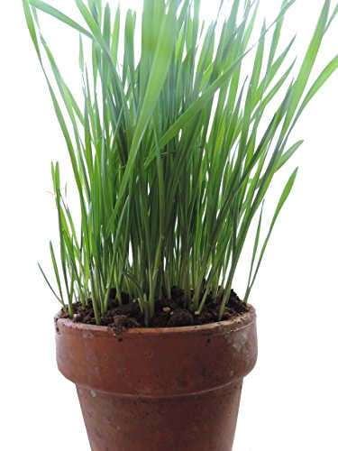 Non-GMO, Thunder Acres Premium Wheat Seed, Cat Grass Seed, Wheatgrass, Hard Red Winter Wheat (2 lbs.) by Thunder Acres (Image #4)