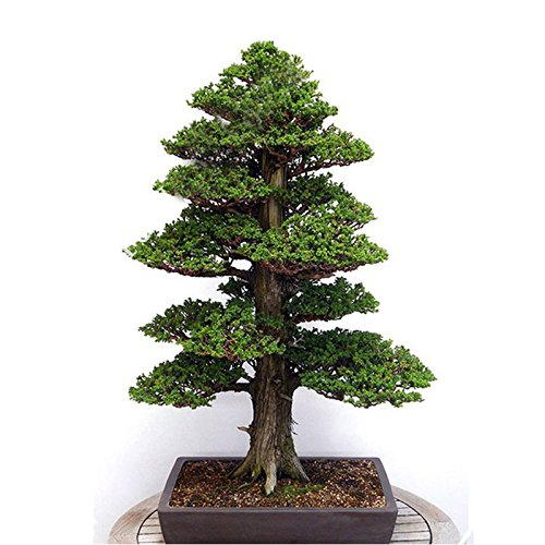 20Pcs Japanese Cedar Semillas Bonsai Seeds Rare Tree Seeds for Home Garden by (Japanese Bonsai)