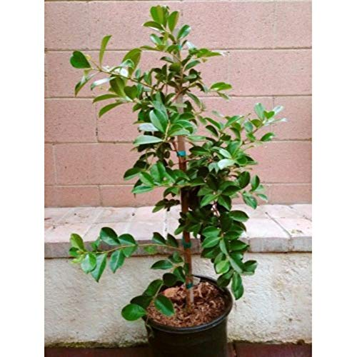 Strawberry Guava Tropical Fruit Trees 3-4 Feet Height in 3 Gallon Pot #BS1 by iniloplant (Image #1)