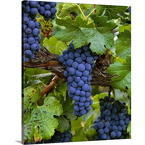 (Mature Merlot Wine Grape Clusters on The Vine, ripe and Ready for Harvest Canvas Wall Art Print.)