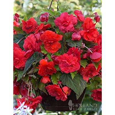 Red Glory Hanging Basket Begonia : Garden & Outdoor