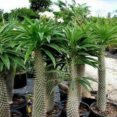 Madagascar Palm Tree Seeds (Pachypodium lamerei) 10+Seeds : Garden & Outdoor