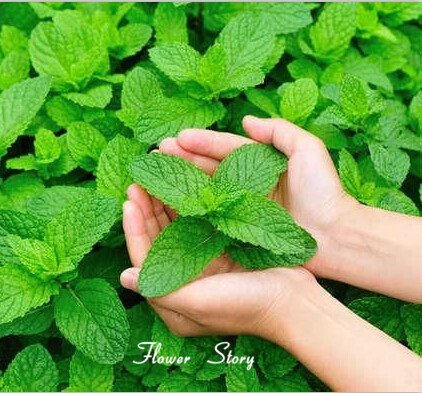 Exotic herb Seeds - Mentha - Indoor air Purifying herb Kitchen Garden Pack by