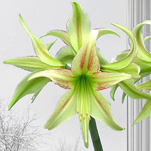 Exotic Amaryllis Bulb Green Amaryllis Lime Flare - 26/28cm Bulb - Outstanding Indoor Blooms!