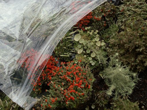 Appalachian Mix Moss /& Lichen Variety Assortment British Soldier Pixie Cup Pityrea Live Lichens Moss 1 Pint Bag