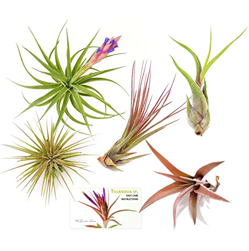 Cheap TDG Assorted Tillandsia Air Plants, Pack of 5, Medium