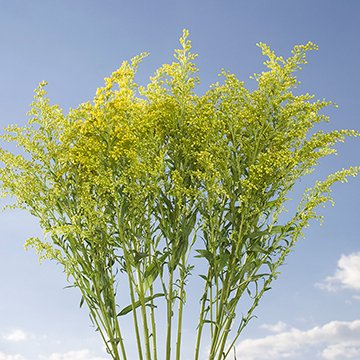 GlobalRose 30 Stems of Yellow Asters Solidago - Fresh Flowers for Delivery by GlobalRose