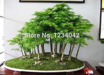 SALE! 100PC Authentic German Fir Seeds. Mini Evergreen Bonsai (Tree Seeds) Plants.