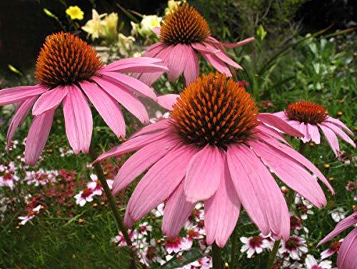 Purple CONEFLOWER Seed, 100+ Seeds, Organic, Beautiful Purple CONEFLOWERS ()