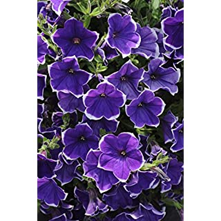 "Burpee Spreading Petunia Rhythm and Blues Petunia  - Four Plants in 4"" pots"