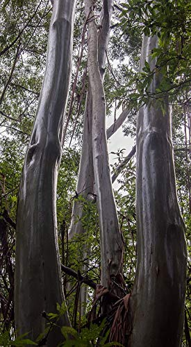 Home Comforts Canvas Print Wet Rain Eucalypts Trunks Shiny Gum Trees Vivid Imagery Stretched Canvas 32 x 24