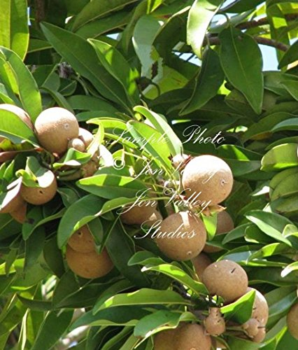 Manilkara zapota 8 seeds Rare Chicle Tropical Tree Chewing Gum Tree New Harvest Sapodilla evergreen white flowers great houseplant Latex Chewing Gum