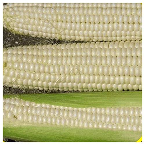Everwilde Farms - 1 Lb Silver Queen Hybrid Sweet Corn Seeds - Gold Vault