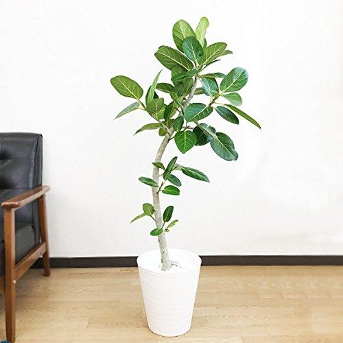フィカス ベンガレンシス 観葉植物 ホワイトセラアート鉢 ベンガルゴムの木 ベンガル ベンガルゴム ゴムの木 インテリア 8号 大型 中型 B01I14VS9I