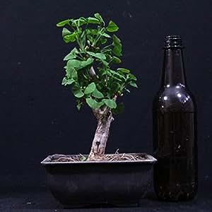 Ginkgo biloba, bonsái para exterior, 9 años, altura 25 cm