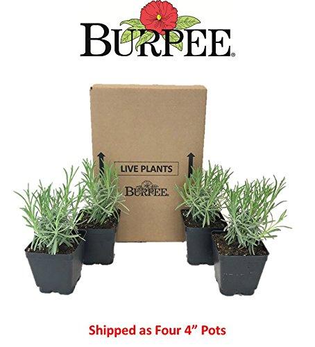 Burpee Perennial Lavender 'Phenomenal', 4'' pots, 4 plants, Fragrant, Evergreen, Pollinator Friendly by Burpee (Image #3)