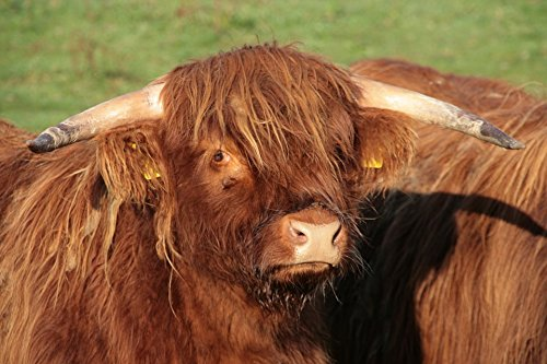 - Home Comforts LAMINATED POSTER Horns Shaggy Highland Beef Agriculture Beef Poster 24x16 Adhesive Decal