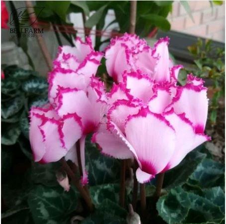 Amazon New Pink Light Pink Purple Bi Color Big Blooms