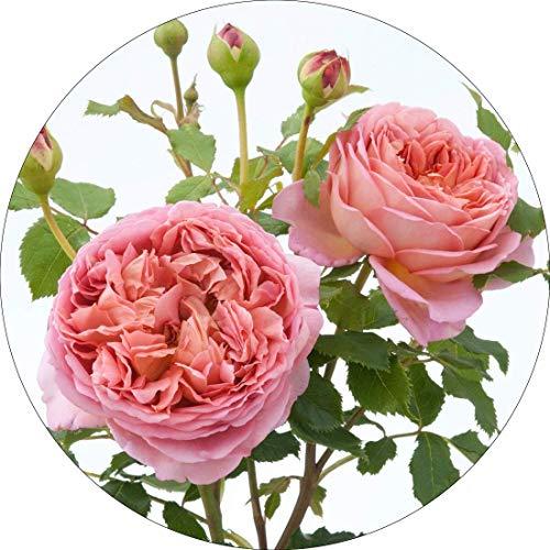 David Austin English Roses Jubilee - Rose Jubilee