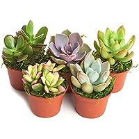 Shop Succulents Unique Succulent (Collections of 5)