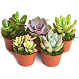 "'Succulent' Terrarium & Fairy Garden Plants - 5 Different Plants in 2"" Pots"