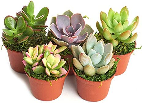 picture of Shop Succulents   Unique Collection of Live Succulent Plants, Hand Selected