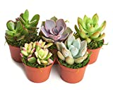 Shop Succulents| Unique Collection of Live Succulent Plants, Hand Selected Variety Pack of Mini Succulents | Collection of 5 in 2' pots