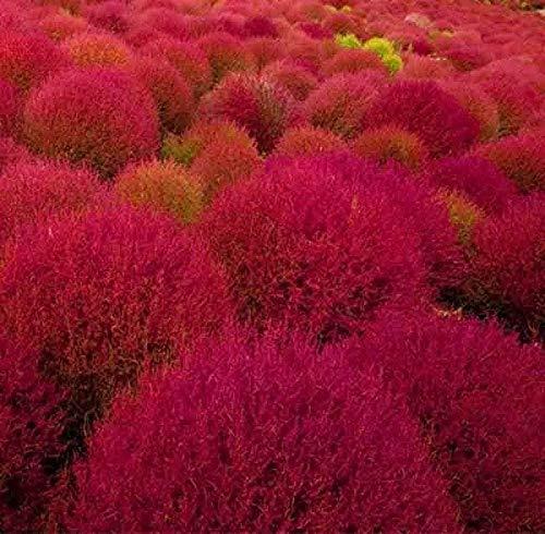 100+ Seeds Burning Bush Grass Ornamental Rare Fall Color Drought Seeds #TGG