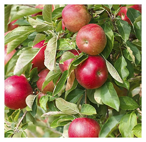 Rome Apple Tree - Semi-Dwarf - Healthy - Established - One Gallon Pot - 1 Each by Growers Solution
