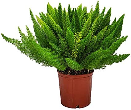 Tropical Plants of Florida Foxtail Fern Plant Plant + Fertilizer Live Asparagus Fern 3 Gallon Pot Overall Height 20 to 24