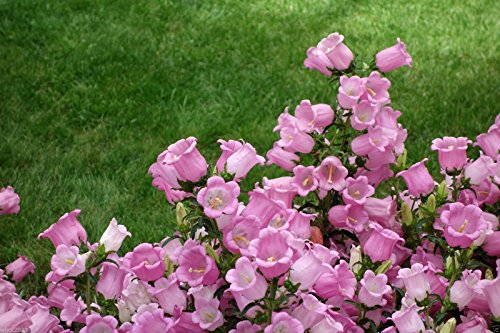 Pink single Canterbury Bells,CAMPANULA medium ,Cup and Saucer Seeds