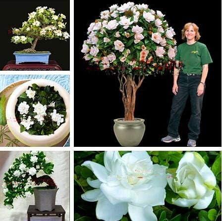 AGROBITS Semillas: plantas 100pcs Jas Sweet Soul jazmÃn plantas bonsai plantas Semilla Flor y Hogar amp; Jardines jardÃn de DIY: 100pcs: Amazon.es: Jardín