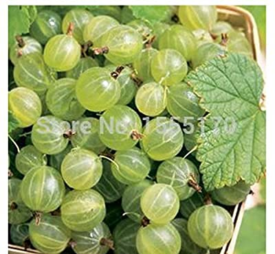 Fruit Seeds 10 Pcs Ceylon Gooseberry Seeds*rare*showy*kids DIY Home Gardening by tantarashop