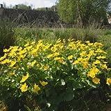 Nuts n' Cones Wildflower - Marsh Marigold - 400 Seeds