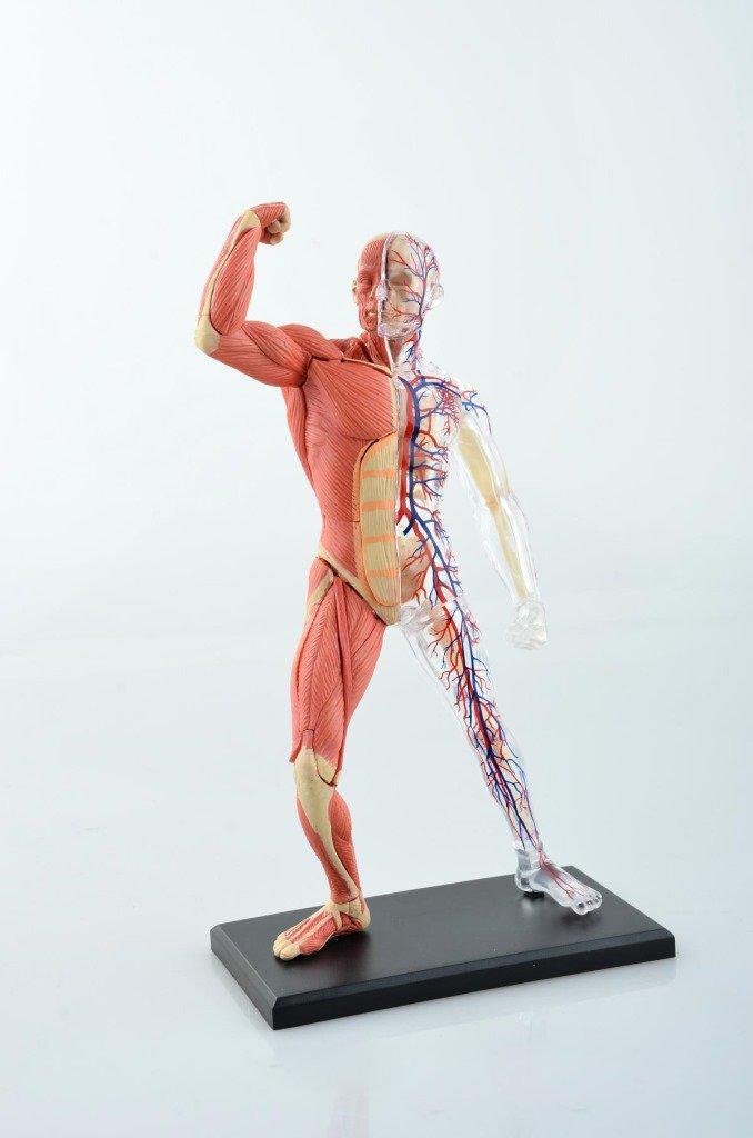 dentallabore 4D 20,3 cm 46 Teile Muskel- und Skelett Anatomie Modell ...