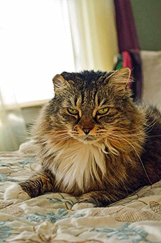LAMINATED POSTER Home Resting Maine Coon Animal Cat Macy Bedroom Poster Print 24 x - Macys Maine