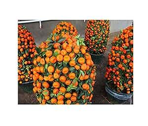 foreverwedding 50pcs/lote en maceta comestible frutas semillas Bonsai Semillas de árbol de escalada, color naranja