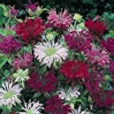 Outsidepride Monarda Didyma Bee Balm Mix - 500 Seeds