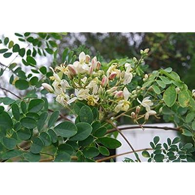 Moringa Oleifera - Super Food Drumstick Tree Edible Live Starter Rooted Plant : Garden & Outdoor