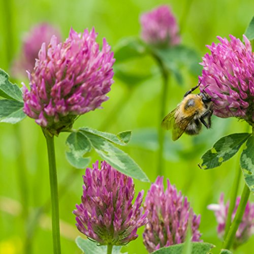 Outsidepride Red Clover Seed: Nitro-Coated, Inoculated - 5 LBS by Outsidepride (Image #1)