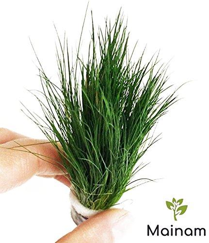 Mainam Dwarf Hairgrass Easy Live Aquarium Freshwater Plants Decorations 3 Days Live Guaranteed