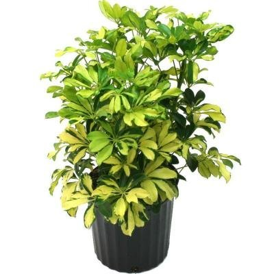 "Schefflera Arboricola, Dwarf Umbrella Tree, 6"" Pot"