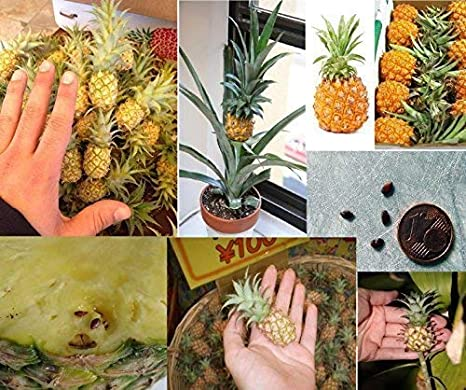 Large Live Patio Pinapple Plant bare root FREE SHIPPING