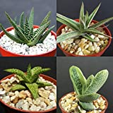 Gasteraloe Collection Rare Gasteria Aloe Succulents Cactus Exotic Plants 4 Inch ecc002